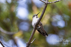 August 21, 2021 - Hummingbird hanging out. (Tony's Takes)