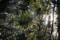 August 21, 2021 - Rain drops on a pine tree. (Tony's Takes)