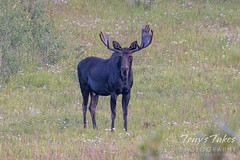 August 21, 2021 - Bull moose keeping watch in the pre-dawn hours. (Tony's Takes)