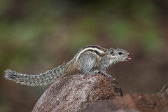 A Cheeky Indian Palm Squirrel showing this tongue!
