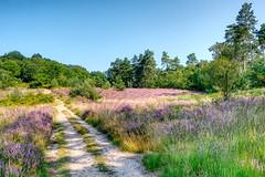 The purple heather