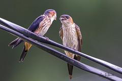 A Red Rumped Swallow feeding its chick