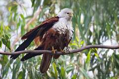 A Brahminy Kite Stretching its wings