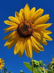 August 24, 2021 - Beautiful blooming sunflower. (LE Worley)