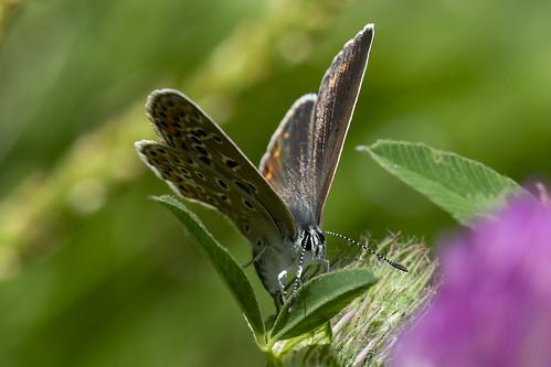 Голубянка  (Polyommatus icarus) ©  Aleksandr Efisko