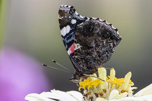 Бабочка адмирал (Vanessa atalanta) ©  Aleksandr Efisko