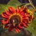 Sunflower & Bees