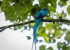El Quetzal y su hábitat CONAP (5) by Conap Comunicación