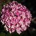 Hydrangea and Ladybug, Leif Erikson Park, Duluth 8/30/21