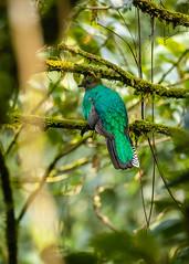 El Quetzal y su hábitat CONAP (4) by Conap Comunicación