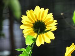 Sunflower and Sunlight