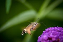 Kolibri oder Schmetterling? 😊 - explored