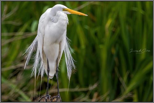 Garza Blanca, Great White Egret (Ardea alba)
