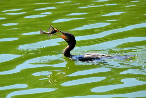 cormorão x Cascudo fish