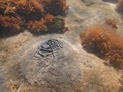 lugworm mound