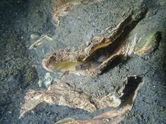 Gobius niger