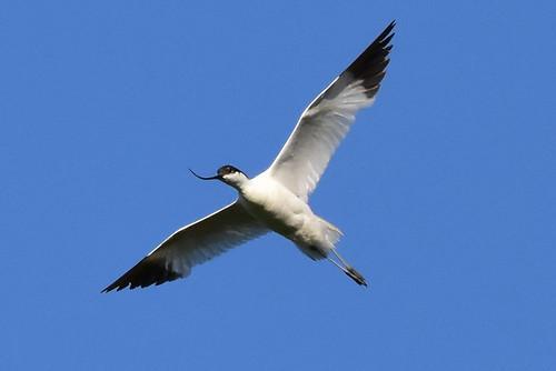 17 - AVOCETA COMÚN (Recurvirostra avosetta) - MARIO SÁNCHEZ GONZÁLEZ