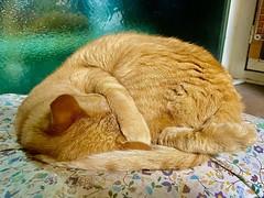 coat fur 毛 毛並み cat 猫 ネコ ねこ 茶トラ Redtabby Orangetabby Katze chat gatto gato feles кошка KAT gato ko?ka kass муур pisic? 日本 Japan ivvaDOTinfo ivva
