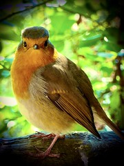 Robin Redbreast ...