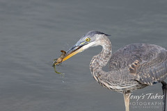 September 12, 2021 - A great blue heron nabs a crawdad. (Tony's Takes)