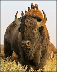 September 10, 2021 - Starlings catch a ride on a bison. (Bill Hutchinson)