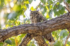 September 5, 2021 - A sleep great horned owl. (Tony's Takes)