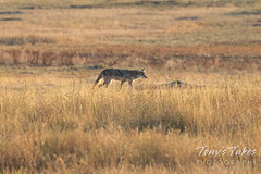 September 5, 2021 - Coyote on the prowl. (Tony's Takes)