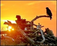 September 10, 2021 - Hawk on watch at sunrise. (Bill Hutchinson)