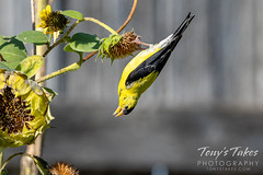 October 6, 2021 - An American goldfinch works hard for a sunflower seed. (Tony's Takes)