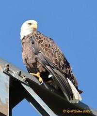 September 5, 2021 - Regal bald eagle in Thornton. (Ed Dalton)