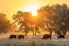 September 5, 2021 - Bison at sunrise. (Tony's Takes)