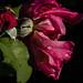 Duluth Rose Garden 8/30/21