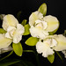 Epc. Siam Jade 'Sweet Fragrance' – Suzi Sandore