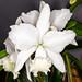 C. Hawaiian Wedding Song 'Virgin' – Suzi Sandore