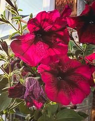 backlit petunias