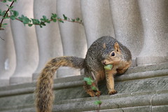 Fox Squirrels in Ann Arbor at the University of Michigan 257/2021 95/P365Year14 4843/P365all-time (September 14, 2021)