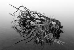 Photo of Reflected fallen branches Castle Semple Loch, Lochwinnoch, Renfrewshire, Scotland, UK B&W