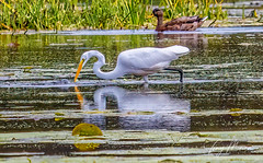 Egret in mallard territory