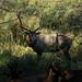 Elk Buck Watching Over His Herd