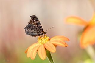 ... butterflies are like flying flowers ...