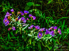 Asters in the hedgerow