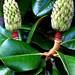 "Cincinnati - Spring Grove Cemetery & Arboretum ""Southern Magnolia Tree - Seedpods"""