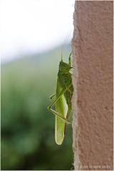 Grande sauterelle verte