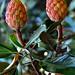 "Cincinnati - Spring Grove Cemetery & Arboretum ""Southern Magnolia Pods-Pregnant With Seeds"""