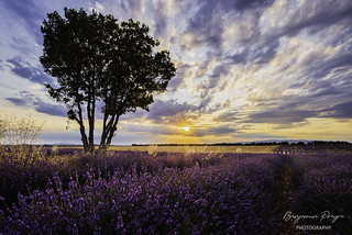 Lonely Tree in a Lavender Field