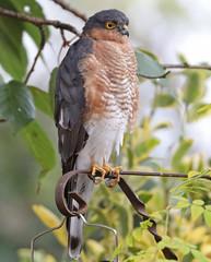 Photo of Sparrowhawk ?