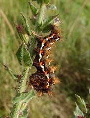 Photo of Acronicta rumicis (Knot grass, larva)