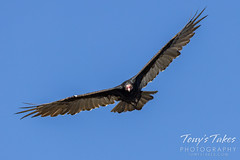 September 18, 2021 - Turkey vulture looking for a meal. (Tony's Takes)