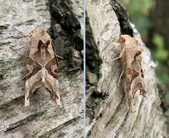 Photo of Angle Shades Moth