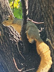September 22, 2021 - Fox squirrel hanging out in Thornton. (LE Worley)